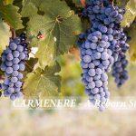 Carmenere – Giống nho đầy thăng trầm