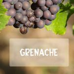 Giống nho Grenache (Garnacha)