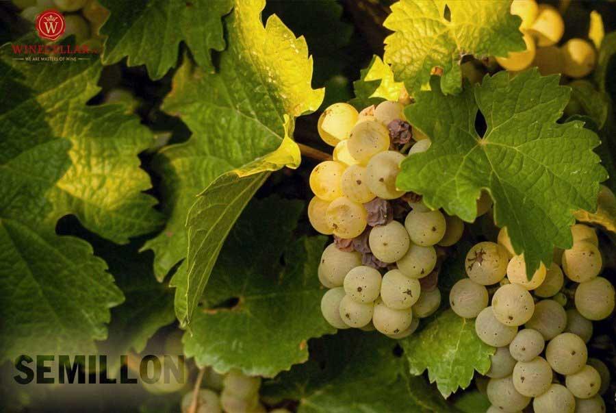 Ảnh 2: Nho Semillon - một trong những giống nho chính làm rượu vang tại Sauternes