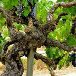 Sự đặc biệt của rượu vang từ những cây nho cổ