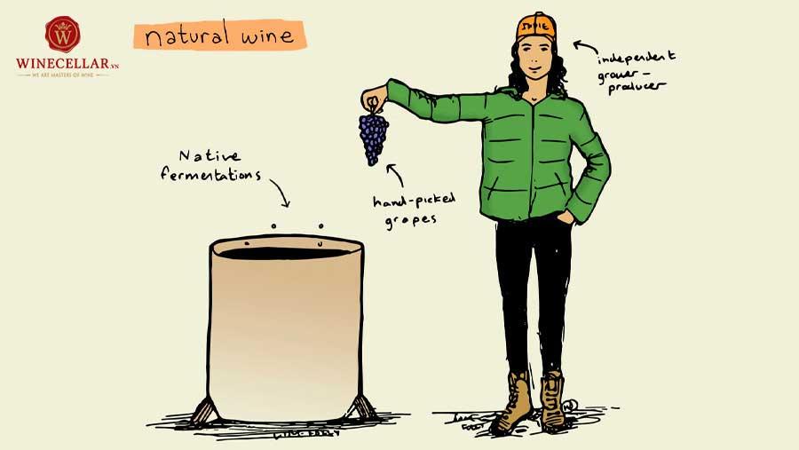 Ảnh 2: Quy trình làm rượu vang tự nhiên Natural Wine