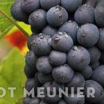 giống nho Pinot Meunier